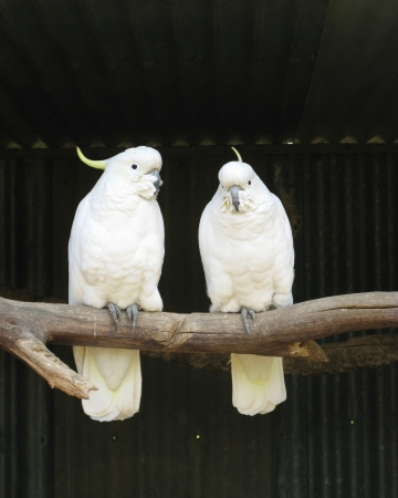 The Sulphur-crested Cockatoo in Australia photo