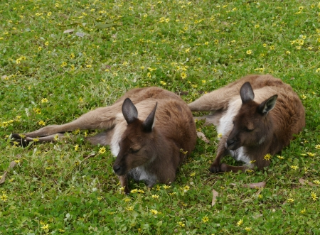 Two kangaroos in the grass with yellow flowers photo