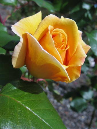 A yellow blooming rose flower photo