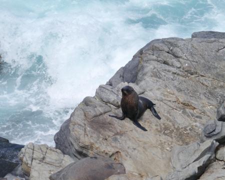 New Zealand fur seal or southern fur seal  Arctocephalus forsteri  on the rocks of Kangaroo island in Australia photo
