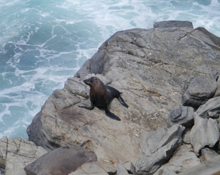 Fur seals on the rocks of Kangaroo island in Australia photo