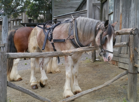 ballarat: Horses of a carriage and pair in