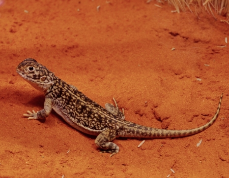 burrows: A panther skink in the red desert of the northern Territory in Australia Stock Photo