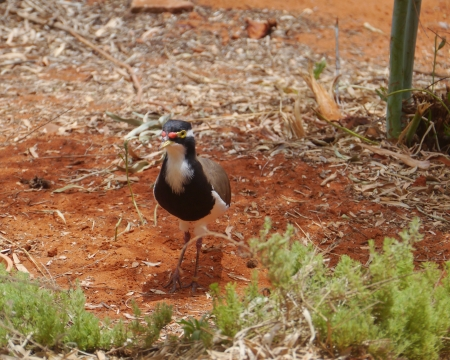 Australian Banded Lapwing  Vanellus tricolor  Stock Photo