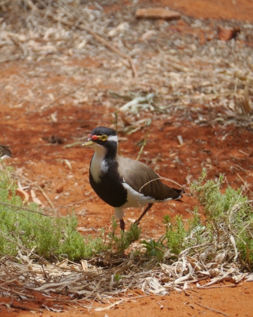 lapwing: Australian Banded Lapwing  Vanellus tricolor  Stock Photo