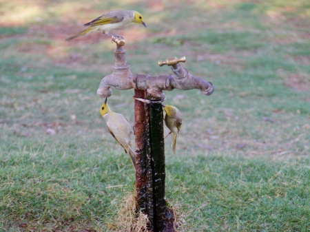 White-plumed Honeyeaters on a tap are native to Australia photo