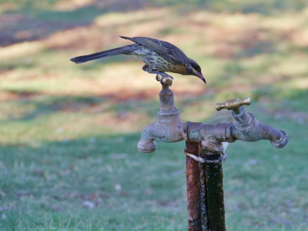 Spiny-cheeked Honeyeater  Acanthagenys rufogularis  on a tap in Australia photo