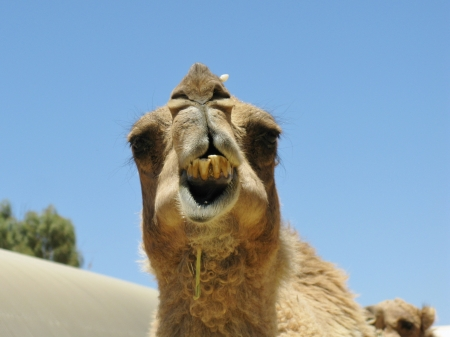A portrait of a camel with a facial expression in Australia photo