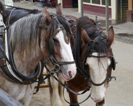 Horses of a carriage and pair in photo