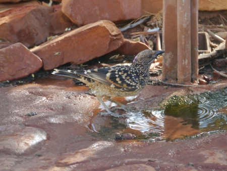 Little wattlebird  Anthochaera chrysoptera in Kings Canyon in the Northern Territory in Australia photo