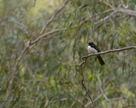 willy: The Willie  or Willy  Wagtail  Rhipidura leucophrys  is a passerine bird native to Australia Stock Photo