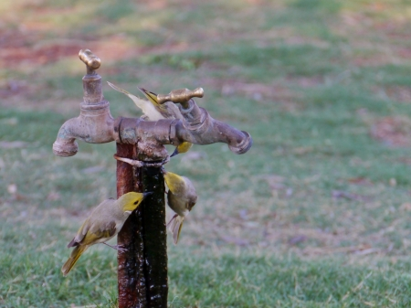 The White-plumed Honeyeaters on a tap are native to Australia photo