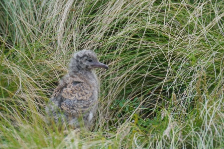 larus: Young Silver gull  larus novaehollandiae  on Philip island in Australia