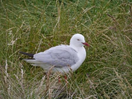 larus: Silver gull  larus novaehollandiae  on Philip island in Australia Stock Photo