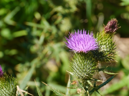 The opening bud of a magenta plume thistle  cirsium vulgare  photo