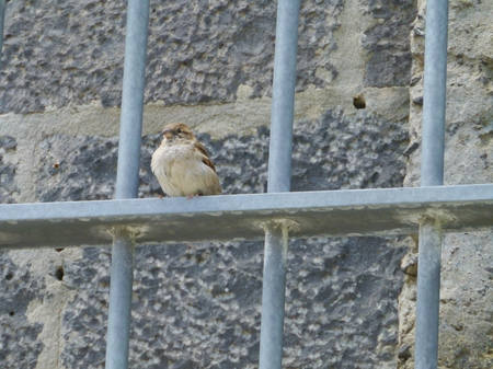 A common house sparrow  Passer Domesticus  in Australia Фото со стока - 25646190