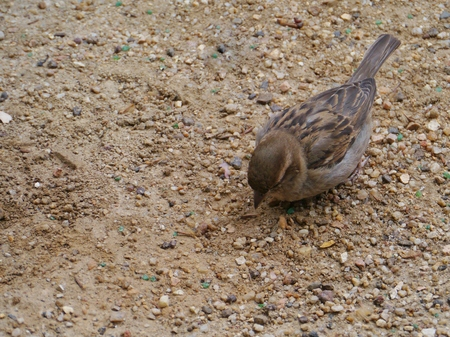A common house sparrow Passer Domesticus in Australia