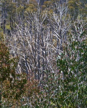 arboles secos: Una carretera de monta�a en las monta�as cubiertas de nieve en Nueva Gales del Sur en Australia en un paisaje con �rboles muertos