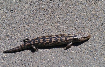blotched: The blotched blue-tongued lizard  Tiliqua nigrolutea  is endemic to south east Australia
