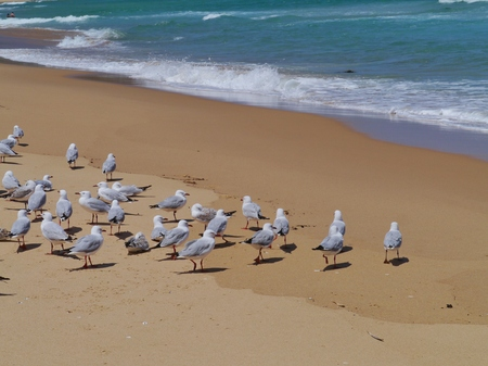 Silver gull  larus novaehollandiae  on the Garlie beach in Australia photo