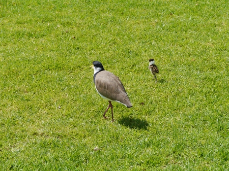 spur winged: Masked Lapwing  Vanellus miles  with a baby bird in a park in Sydney in Australia