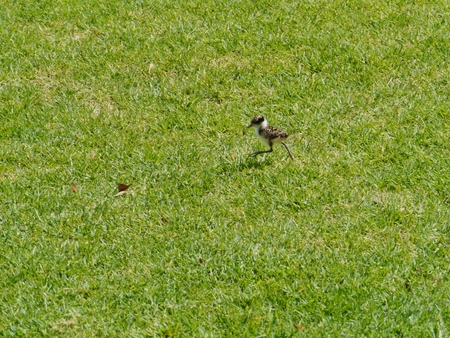 spur winged: A Masked Lapwing  Vanellus miles  baby bird in a park in Sydney in Australia