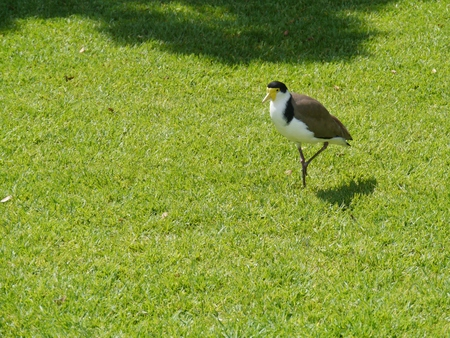 spur winged: Masked Lapwing  Vanellus miles  in a park in Sydney in Australia