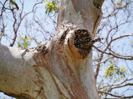 Native bees forming a hive in a tree in Victoria in Australia photo