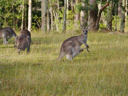 A kangaroo with a young in the pouch at Worrowing heights in Huskisson in New south Wales in Australia photo