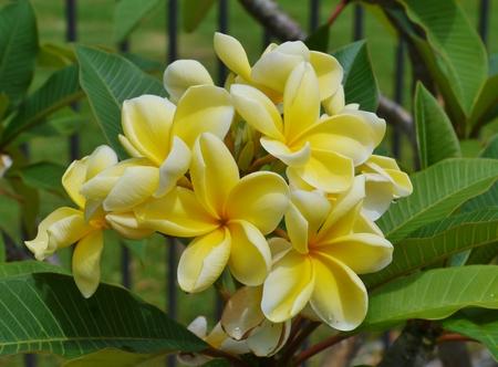 subtropics: Fiori gialli della Plumeria albero Frangipani in Australia