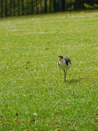 spur winged: Masked Lapwing  Vanellus miles  or Masked Plover or Spur-winged Plover is native to Australia