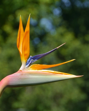A orange flowering strelitzia plant also called bird of paradise photo