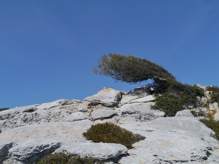 View on a tree shaped by the wind on the island Levrnaka in Croatia photo