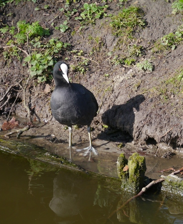 expended: An Eurasian coot  felicia atra  at the waterfront of a canal Stock Photo