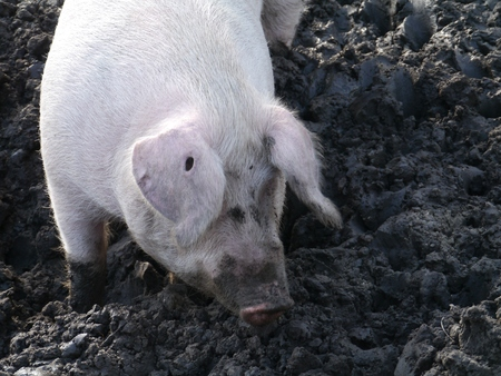 A portrait of a domestic pig burrowing in the mud at a farm photo