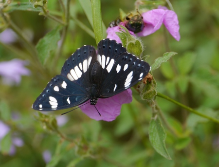 The Southern White Admiral  Limenitis reducta  is a butterfly of the Nymphalidae family photo