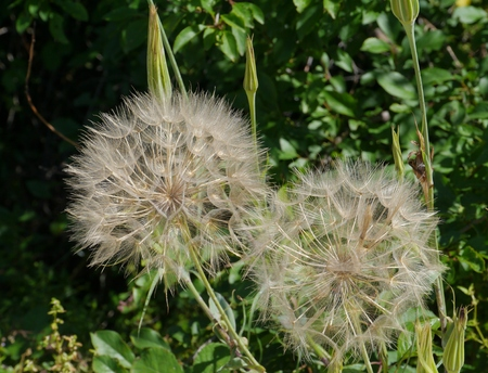 showy: The seeds of a Meadow Salsify  Tragopogon pratensis   or Showy Goat s-beard or Jack-go-to-bed-at-noon is a  plant in the Asteraceae family