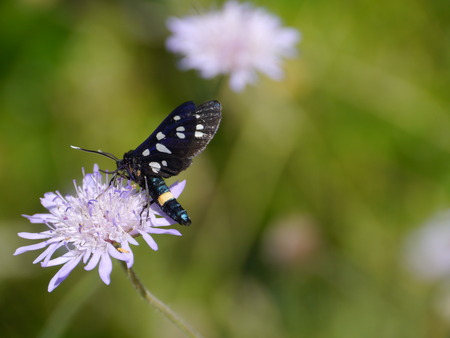 The nine-spotted moth  Amata phegea  on a Scabiosa columbaria or pink mist a pink blooming wild flower photo