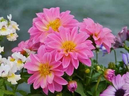 Magenta pink blooming dahlia flowers