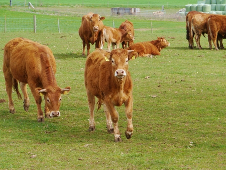 Red brown cows with calves in a meadow in spring Stock Photo - 27717988