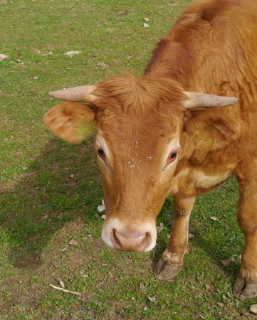 A portrait of a young red brown cow Stock Photo - 27689144