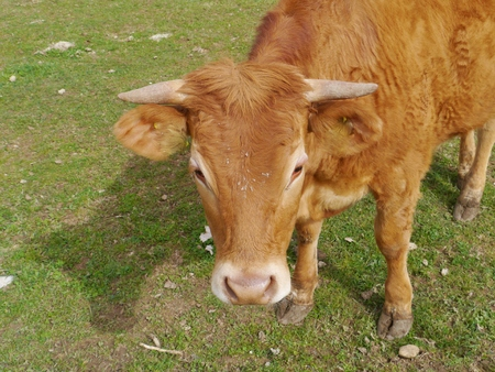 A portrait of a young red brown cow Stock Photo - 27689147