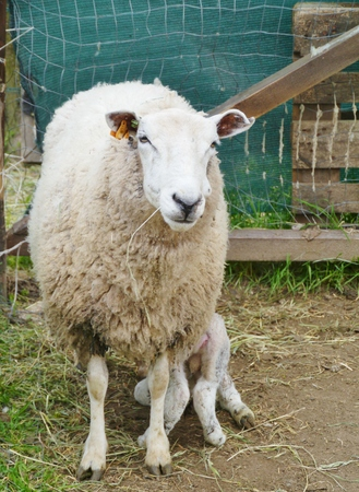 seasonally: A mother sheep with her three hours old lamb in spring