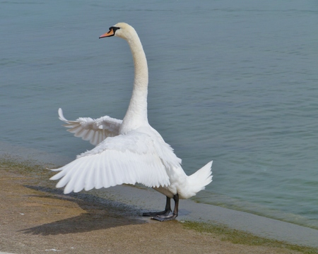 olur: Mute swan  cygnus olur  stretching at the waterfront of a lake