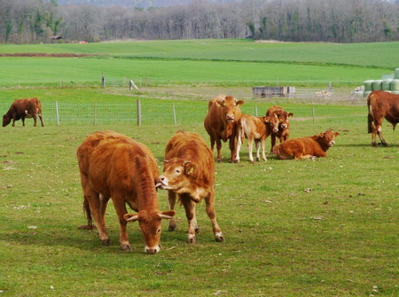 Red brown cows with calves in a meadow in spring Stock Photo - 28265626