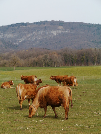 Red brown cows with calves in a meadow in spring Stock Photo - 28265628
