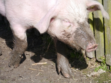 A domestic pig in the mud at a childrens farm photo