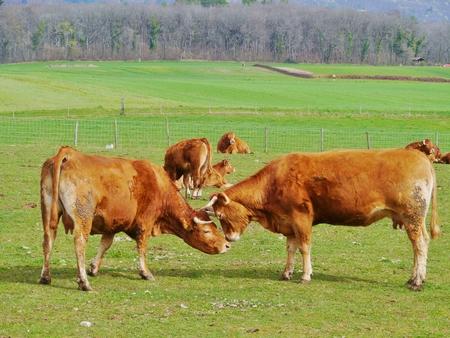rust red: Vacas rojas Rust jugando en un prado en primavera