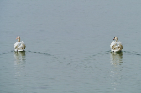 honouring: A couple mute swans swimming in a lake Stock Photo