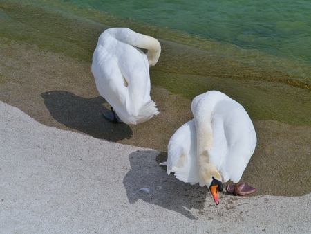 honouring: A couple mute swans at the waterfront of a lake Stock Photo